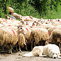Lourdios-Ichère, transhumance, patou et troupeau