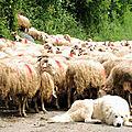 Lourdios-Ichère, transhumance, patou et troupeau