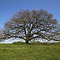 Le chêne de tombeboeuf, l'archétype du chêne isolé de pleine campagne... photogénique, harmonieux, épanoui et libre... 20/04/18.