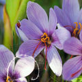 Crocus sativus : pour la production du safran