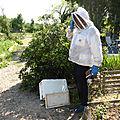 Un apiculteur au secours d'un essaim d'abeilles au jardin de la planche
