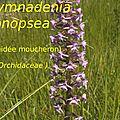 46 Gymnadenia conopsea