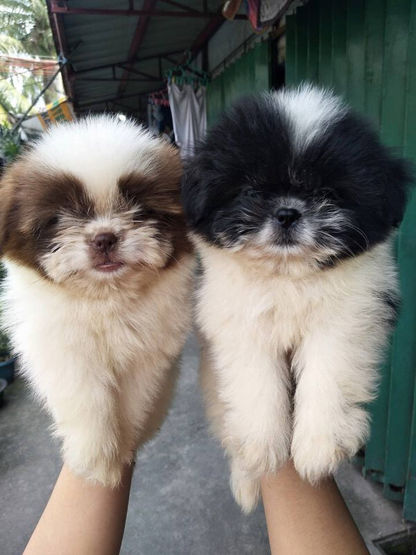 10_CHIOT_CHIEN, SHIH TZU_A_VENDRE_A_ADOPTER_PARTICULIER__ELEVAGE_ELEVEUR_11_34_30,aude_narbonne_ HERAULT_GARD_MONTPELLIER_ NIMES_LUNEL_NEWS_PRESS_CARD_2019_