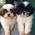 News chiot chien shih tzu chien du tibet male femelle tricolore a vendre a adopter particulier eleveur elevage 34 30 11