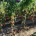 209 - tomates surprise