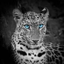 """Résultat de recherche d'images pour """"image panthere blanc"""""""