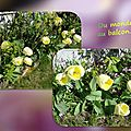 balanicole_2016_05_avril tulipes_09_du monde au balcon