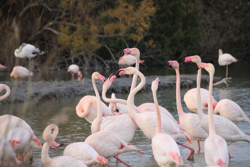 camargue_parade_amoureuse_flamants_roses
