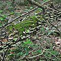Trichaptum biforme (4)
