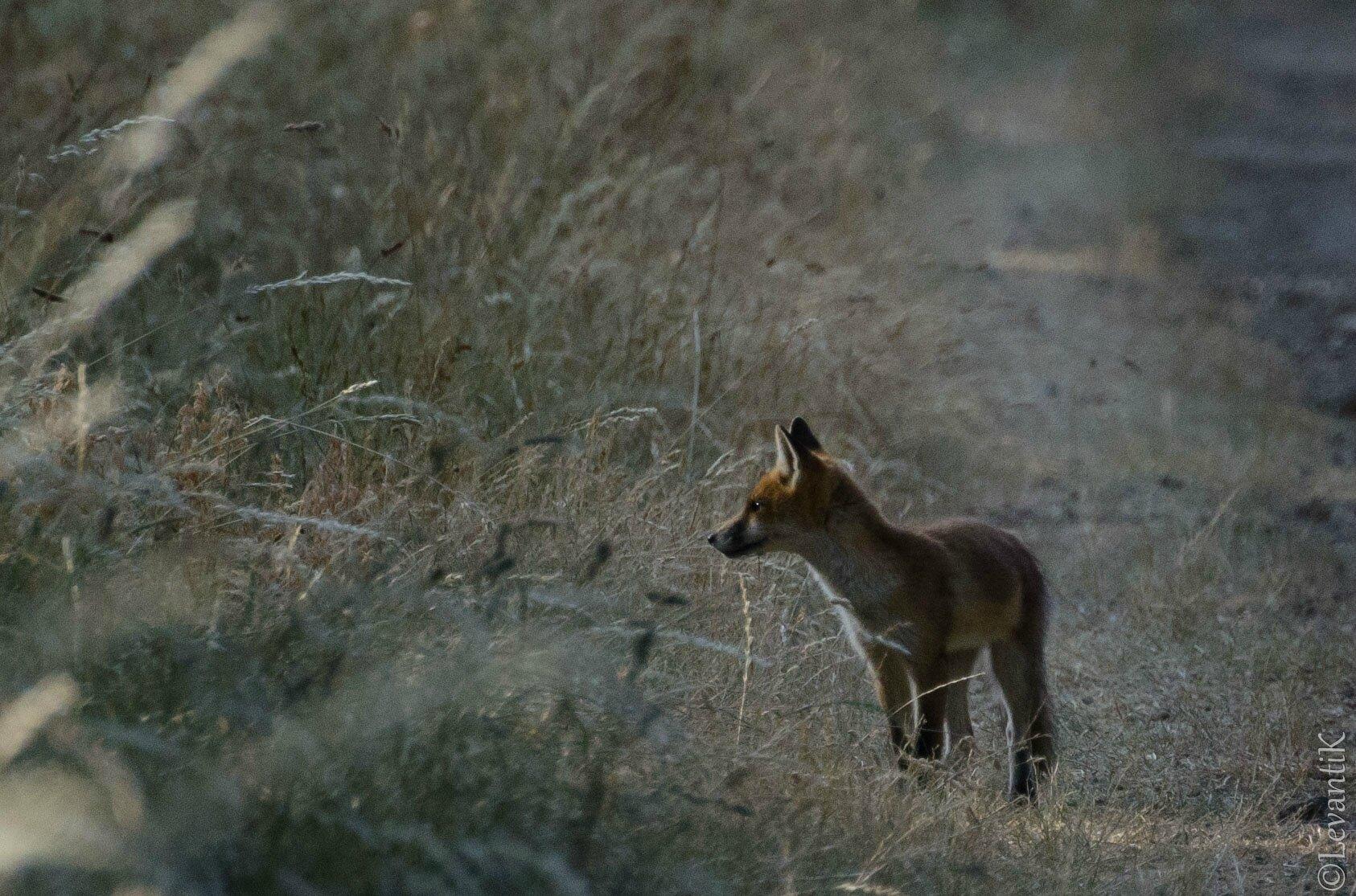 Renard roux - Vulpes vulpes (11)