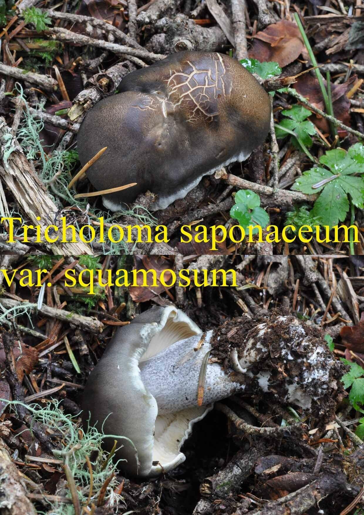 Tricholoma saponaceum var
