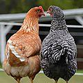 Les p'tites poulettes