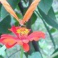 Papillon_2461