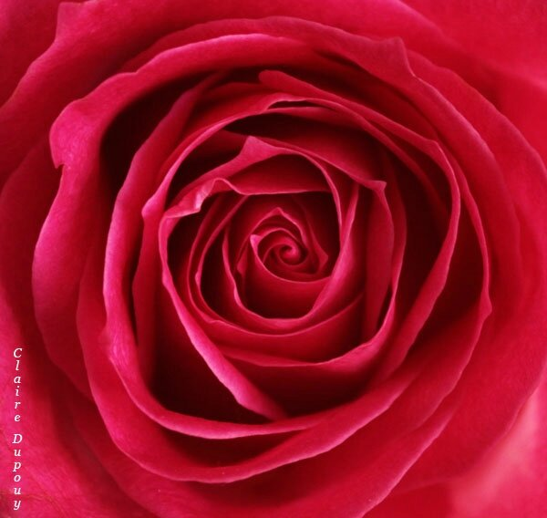 Rose rose!