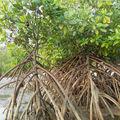 la mangrove, de près