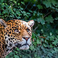 leopard beauval6