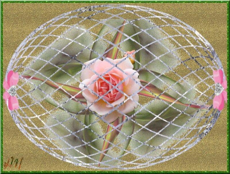 Rose roses