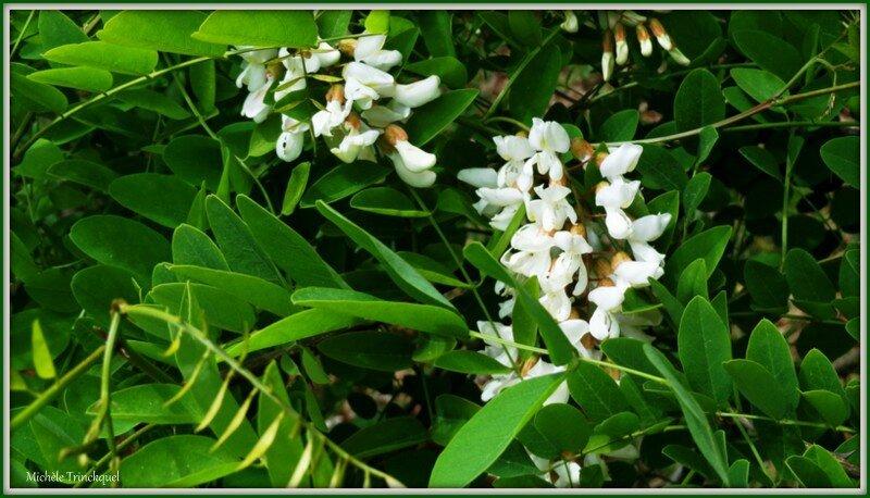 Fleurs d'Acacia 300415