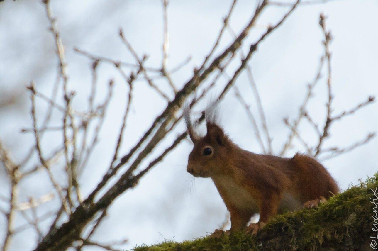 Ecureuil roux (4)