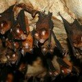 Hipposideros larvatus_Gua Telinga_Taman Negara_XRu