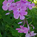 Phlox carolina 'bill bakker'