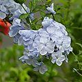 fleurs bleues3