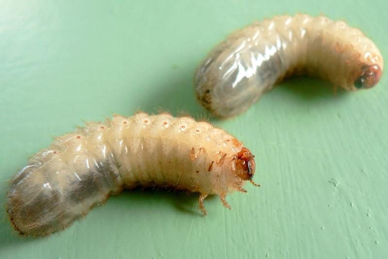 larves de cétoine dorée