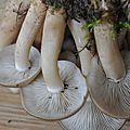 Lyophyllum descastes (3)
