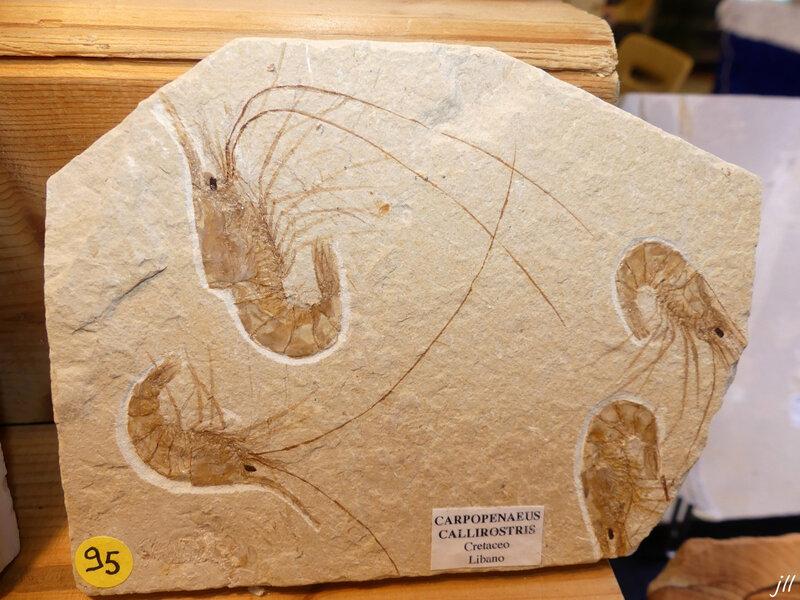 P1280933 Carpopenaeus callirostris 145 Ma