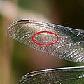 Orthétrum brun - Orthetrum brunneum (4)