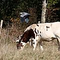 Héron et veau vache mais pas cochon