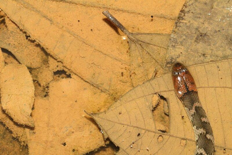 Helicops angulatus