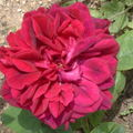 ROSIER DOUBLE DARK LADY ANGLAIS