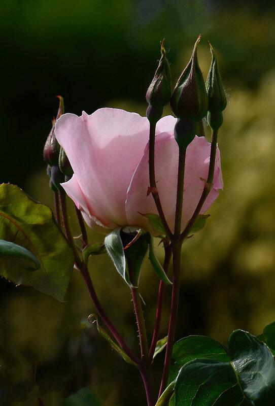 Rose Sophie 4 25-04-21