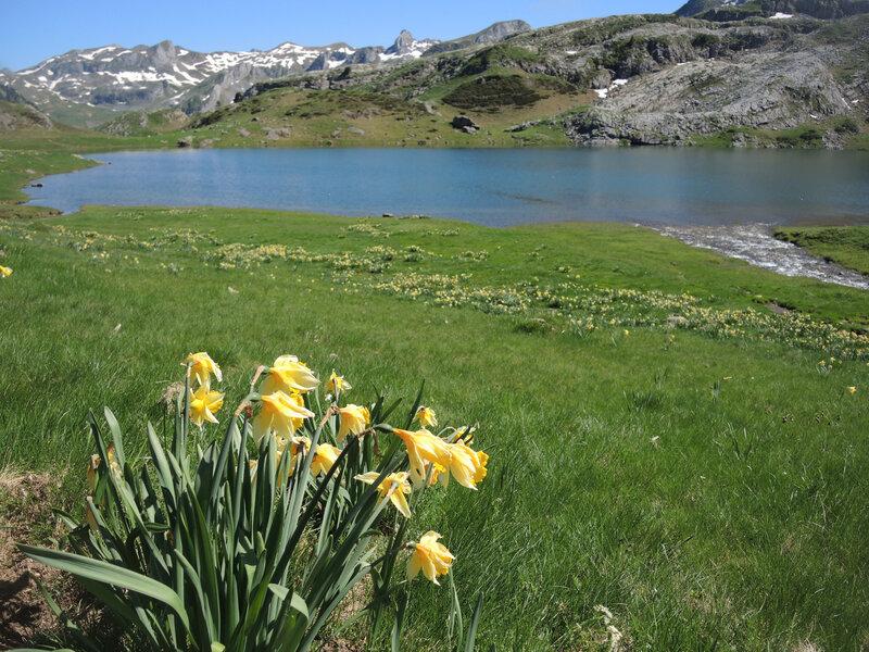 Lacs d'Ayous, lac Roumassot et jonquille (6')