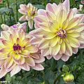 Dahlia-Happy-Butterfly