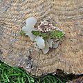 Pseudohydnum gelatinosum (2)