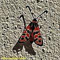 Les couleurs de ce papillon signalent sa toxicité aux prédateurs