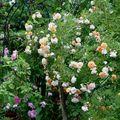 Papotage briard continue sa fête des roses !!