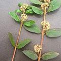Remède naturel par cette plante :