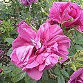 roses-du-soir (4)