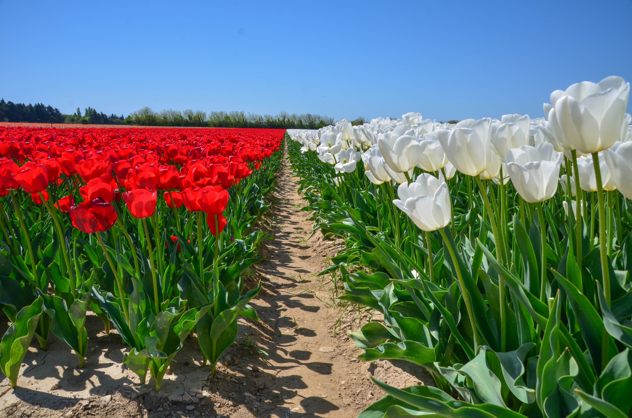 La Provence : un autre pays de la Tulipe