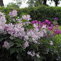 mini lilas et giroflées devant la terrasse