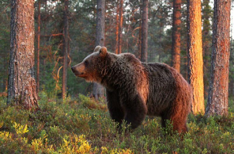Ursus arctos_femelle3_Finlande2011_XRu