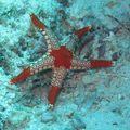 étoile à mailles rouges