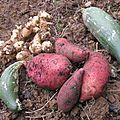Notre première récolte de patates douces