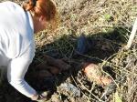 Récolte patates douces