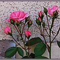 Rose rose et boutons 1705154