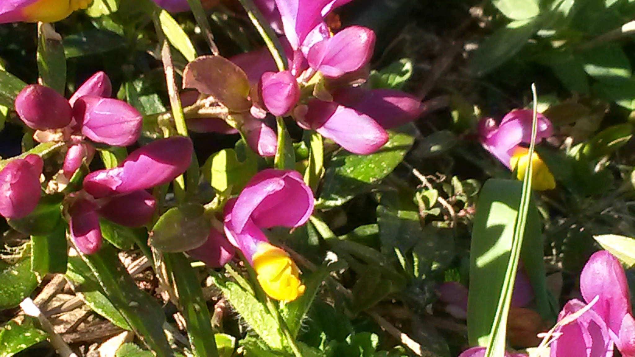 polygala buxifolia