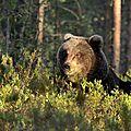 Ursus arctos_jeune mâle_Finlande2011_XRu